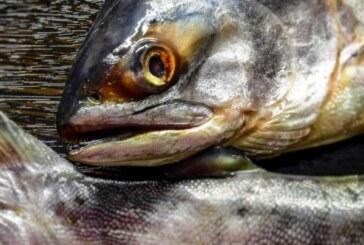 NRK: Ужасающее нашествие «русского лосося» угрожает экосистеме Норвегии